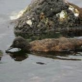 Campbell Island teal. Non-breeding female swimming. Campbell Island, February 2012. Image © David Boyle by David Boyle
