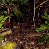 Campbell Island teal. Juvenile in forest at night. Codfish Island, February 2004. Image © Ingrid Hutzler by Ingrid Hutzler