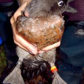 Campbell Island teal. Adult male in the hand. Codfish Island, May 2004. Image © Ingrid Hutzler by Ingrid Hutzler