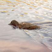 Campbell Island teal. Adult male swimming. Codfish Island, May 2004. Image © Ingrid Hutzler by Ingrid Hutzler