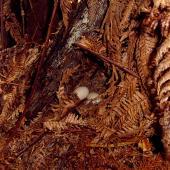 Campbell Island teal. Nest with eggs. Codfish Island, January 2004. Image © Ingrid Hutzler by Ingrid Hutzler
