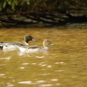 Northern pintail. Adult pair. Hawai`i - Island of Kaua`i, January 2006. Image © JIm Denny by Jim Denny http://www.kauaibirds.comhttp://www.flickr.com/photos/hawaiibirds/