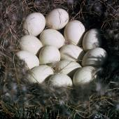 Mallard. Eggs. Mount Bruce Wildlife Centre. Image © Department of Conservation ( image ref: 10031509 ) by Roy Walker, Department of Conservation  Courtesy of Department of Conservation