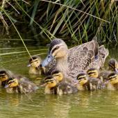 Mallard. Mallard x grey duck hybrid with 10 ducklings. Nelson sewage ponds, September 2017. Image © Rebecca Bowater by Rebecca Bowater www.floraandfauna.co.nz