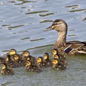 Mallard. Adult female with ducklings. Nelson sewage ponds, September 2015. Image © Rebecca Bowater by Rebecca Bowater FPSNZ AFIAP www.floraandfauna.co.nz