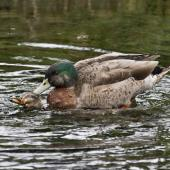 Mallard. Pair copulating. The male holds the feathers on the back of the female's head to help keep his balance. Hamurana Springs, June 2012. Image © Raewyn Adams by Raewyn Adams