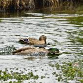 Mallard. Following copulation - male circling female while she bathes. Hamurana Springs, June 2012. Image © Raewyn Adams by Raewyn Adams