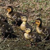 Mallard. Ducklings. Wanganui, October 2011. Image © Ormond Torr by Ormond Torr
