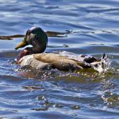 "Mallard. ""Water off a duck's back"" - superhydrophobicity in action. Tauranga, August 2012. Image © Raewyn Adams by Raewyn Adams"