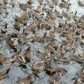 Mallard. Flock. Lake Rotoroa, Hamilton, January 2012. Image © Alan Tennyson by Alan Tennyson