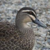 Grey duck. Adult. Lake Rotoiti, Nelson Lakes, March 2014. Image © Amber Calman by Amber Calman