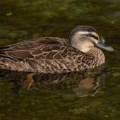 Grey duck. Hybrid adult (orange legs and green bill indicate mallard genes). Lake Alexandrina, February 2008. Image © Peter Reese by Peter Reese