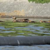 Grey duck. Adult with ducklings. Ngunguru wastewater treatment plant, Northland, October 2017. Image © Scott Brooks (ourspot) by Scott Brooks