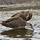 Grey duck. Grey duck showing green speculum (front) and mallard hybrid (behind) with blue speculum.. Tauranga, February 2013. Image © Raewyn Adams by Raewyn Adams