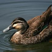 Grey duck. Hybrid adult. Wanganui, October 2008. Image © Ormond Torr by Ormond Torr