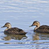 Grey duck. Pair at an urban lake. Tauranga, August 2012. Image © Raewyn Adams by Raewyn Adams
