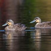 Grey duck. Two adults. Dromana, Victoria, Australia, September 2018. Image © Mark Lethlean by Mark Lethlean