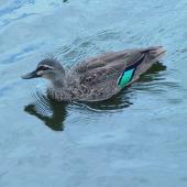 Grey duck. Hybrid adult swimming (the white bar above the green speculum denotes a hybrid). Western Springs,  Auckland, January 2006. Image © Graeme Taylor by Graeme Taylor