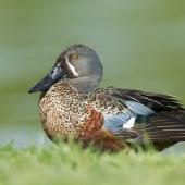 Australasian shoveler. Adult male in breeding plumage. Napier, Hawke's Bay, October 2011. Image © Neil Fitzgerald by Neil Fitzgerald www.neilfitzgeraldphoto.co.nz
