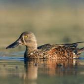 Australasian shoveler. Adult male, non-breeding . Lake Taupo, Waikato, October 2006. Image © Neil Fitzgerald by Neil Fitzgerald www.neilfitzgeraldphoto.co.nz