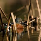 Australasian shoveler. Adult male in breeding plumage resting between reeds stems. Lake Taupo, Waikato, August 2007. Image © Neil Fitzgerald by Neil Fitzgerald www.neilfitzgeraldphoto.co.nz