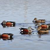 Australasian shoveler. Four males and two females filter feeding. Puketutu Canal, Mangere, May 2014. Image © Jacqui Geux by Jacqui Geux www.facebook.com/WaitakereRangesWEST