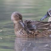 Australasian shoveler. Female preening, male in attendance. Christchurch Botanic Gardens, May 2014. Image © Steve Attwood by Steve Attwood http://www.flickr.com/photos/stevex2/