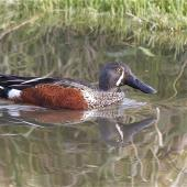 Australasian shoveler. Adult male in breeding plumage, reflected. Linwood Drain, Christchurch, June 2014. Image © Steve Attwood by Steve Attwood  http://www.flickr.com/photos/stevex2/