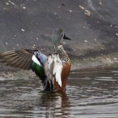 Australasian shoveler. Male stretching his wings after bathing. Tauranga, May 2014. Image © Raewyn Adams by Raewyn Adams