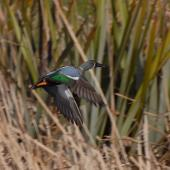Australasian shoveler. Male in flight. Marlborough, August 2009. Image © Peter Reese by Peter Reese