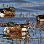 Northern shoveler. Three adult males in partial breeding plumage. San Francisco, California, USA, November 2014. Image © Rebecca Bowater by Rebecca Bowater FPSNZ AFIAP www.floraandfauna.co.nz