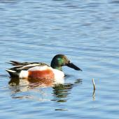 Northern shoveler. Adult male in breeding plumage, swimming. Parc du Marquenterre, France, March 2016. Image © Cyril Vathelet by Cyril Vathelet