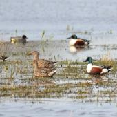 Northern shoveler. Group of male and female (brown) swimming, (Eurasian teal in the background). Parc du Marquenterre, France, March 2016. Image © Cyril Vathelet by Cyril Vathelet