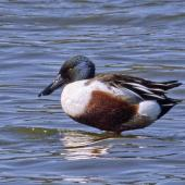 Northern shoveler. Adult male. Nelson sewage ponds, October 2018. Image © Rebecca Bowater by Rebecca Bowater Rebecca Bowater FPSNZ AFIAPwww.floraandfauna.co.nz