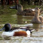 Northern shoveler. Adult drake with male and female Australasian shoveler in background. Lake Elterwater, November 2019. Image © Scott Brooks (ourspot) by Scott Brooks