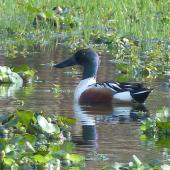 Northern shoveler. Adult male in breeding plumage. Kingston, Norfolk Island, June 2017. Image © Alan Tennyson by Alan Tennyson