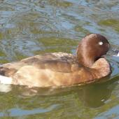Australian white-eyed duck. Adult female. Centennial Park, Sydney, June 2009. Image © Alan Tennyson by Alan Tennyson