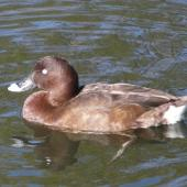 Australian white-eyed duck. Adult male. Centennial Park, Sydney, June 2009. Image © Alan Tennyson by Alan Tennyson