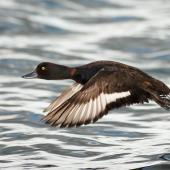 New Zealand scaup. Side view of adult male in flight. Rotorua, Bay of Plenty, January 2006. Image © Neil Fitzgerald by Neil Fitzgerald www.neilfitzgeraldphoto.co.nz