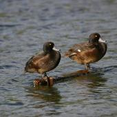 New Zealand scaup. Adult males resting on wood. Lake Okareka. Image © Noel Knight by Noel Knight