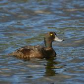 New Zealand scaup. Adult male. Lake Okareka. Image © Noel Knight by Noel Knight
