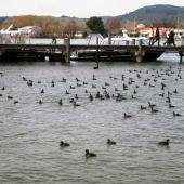 New Zealand scaup. Large flock on water. Lake Rotorua, August 2011. Image © Joke Baars by Joke Baars