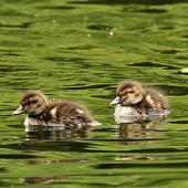 New Zealand scaup. Chicks. Wanganui, November 2012. Image © Ormond Torr by Ormond Torr