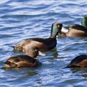 New Zealand scaup. Males swimming with a female. Hamurana Springs, June 2012. Image © Raewyn Adams by Raewyn Adams