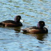 New Zealand scaup. Adult males showing purple iridescence. Waimanu Lagoon, Waikanae, September 2012. Image © Alan Tennyson by Alan Tennyson