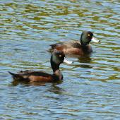 New Zealand scaup. Adult males showing colours in sunlight. Waimanu Lagoon, Waikanae, September 2012. Image © Alan Tennyson by Alan Tennyson