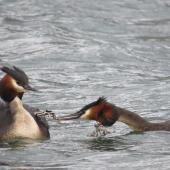 Australasian crested grebe. Adult feeding week old chicks. Lake Wakatipu, December 2013. Image © Paul Peychers by Paul Peychers Wildlife images