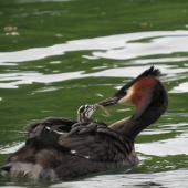 Australasian crested grebe. Adult feeding week old chick. Lake Wakatipu, December 2013. Image © Paul Peychers by Paul Peychers Wildlife images