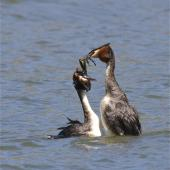 Australasian crested grebe. Adult pair in courtship display exchanging gift nest material. Lake Forsyth, Canterbury, November 2012. Image © Steve Attwood by Steve Attwood http://stevex2.wordpress.com/