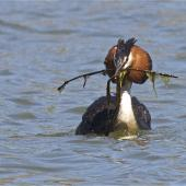 Australasian crested grebe. Courting adult carrying gift nest material for display. Lake Forsyth, Canterbury, November 2012. Image © Steve Attwood by Steve Attwood http://stevex2.wordpress.com/